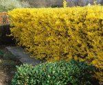 Живая изгородь растения – варианты, посадка и уход, обзор самых подходящих растений